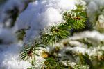 Weihnachtsbäume werden knapp: Deutschen Wäldern gehen die Nadelbäume aus.